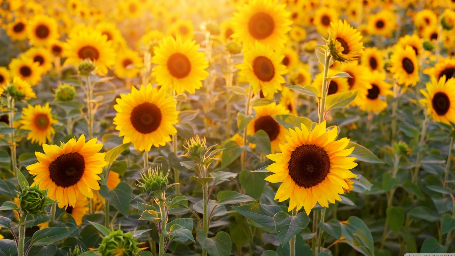sunflower crop rotation